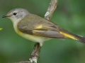 American Redstart - female