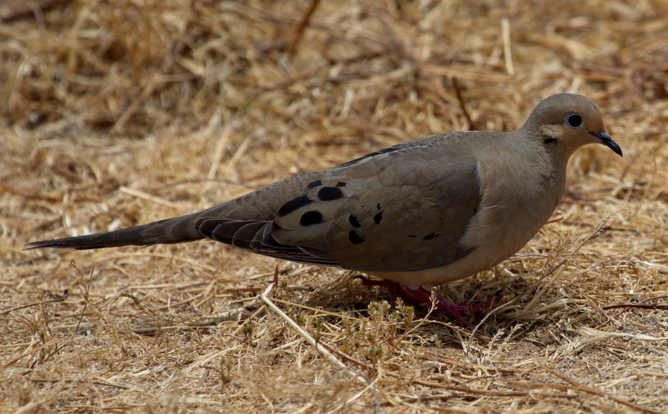Mourning Dove | San Diego Bird Spot