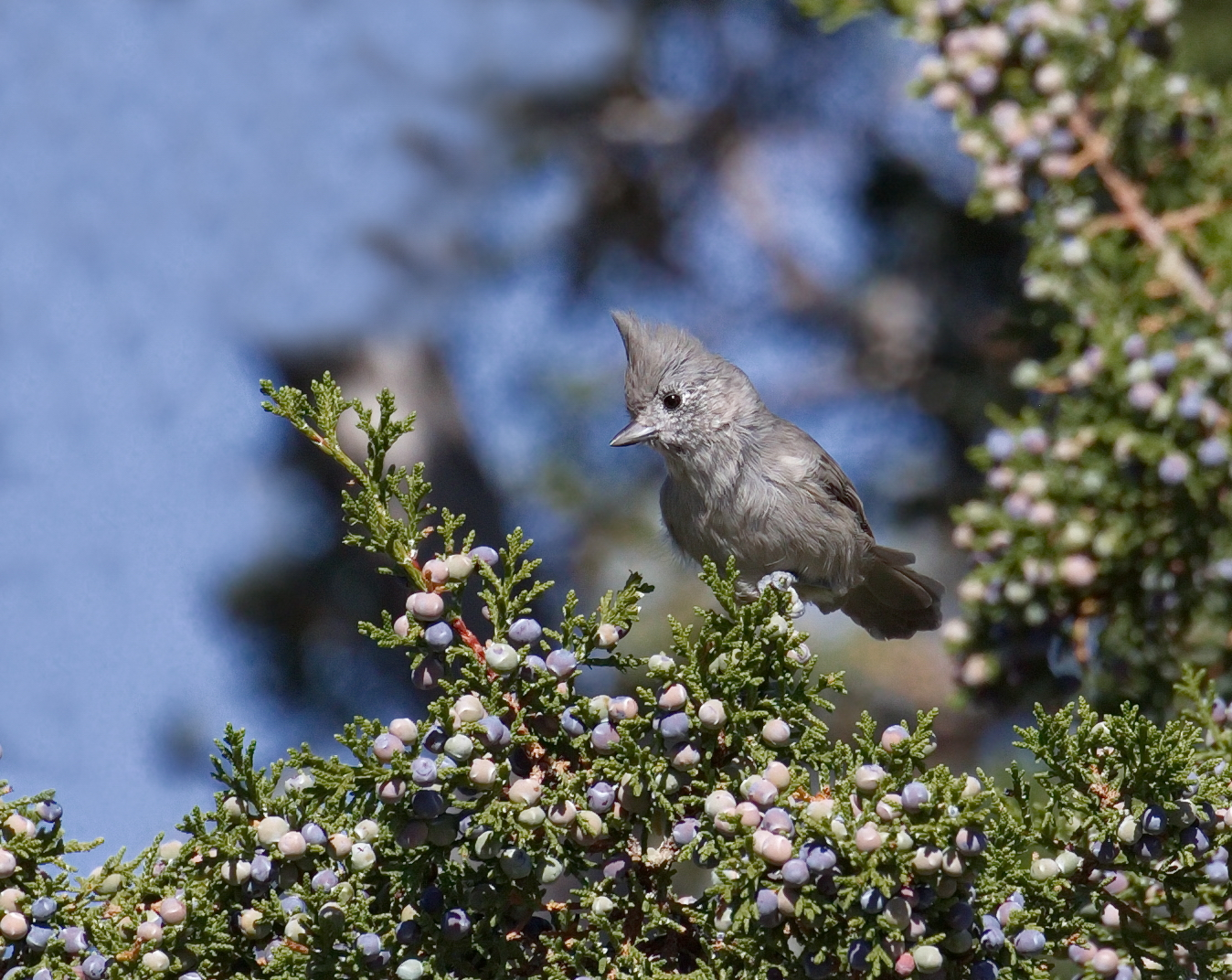 Juniper Titmouse