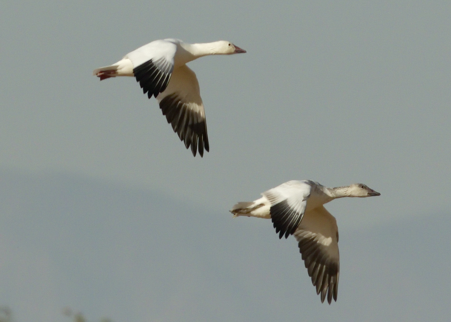 Ross's Geese