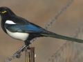 Yellow-billed Magpie