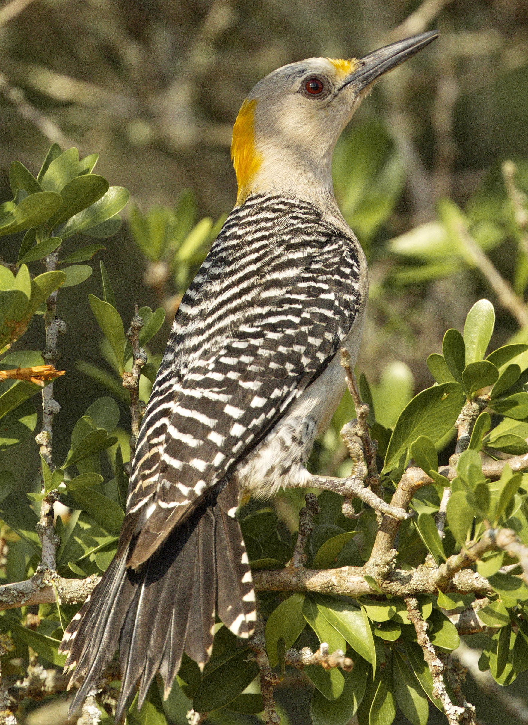 Golden-fronted Woodpecker - female