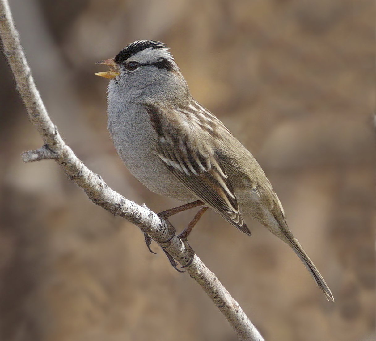 White-crowned Sparrow - (Black-lored oriantha)