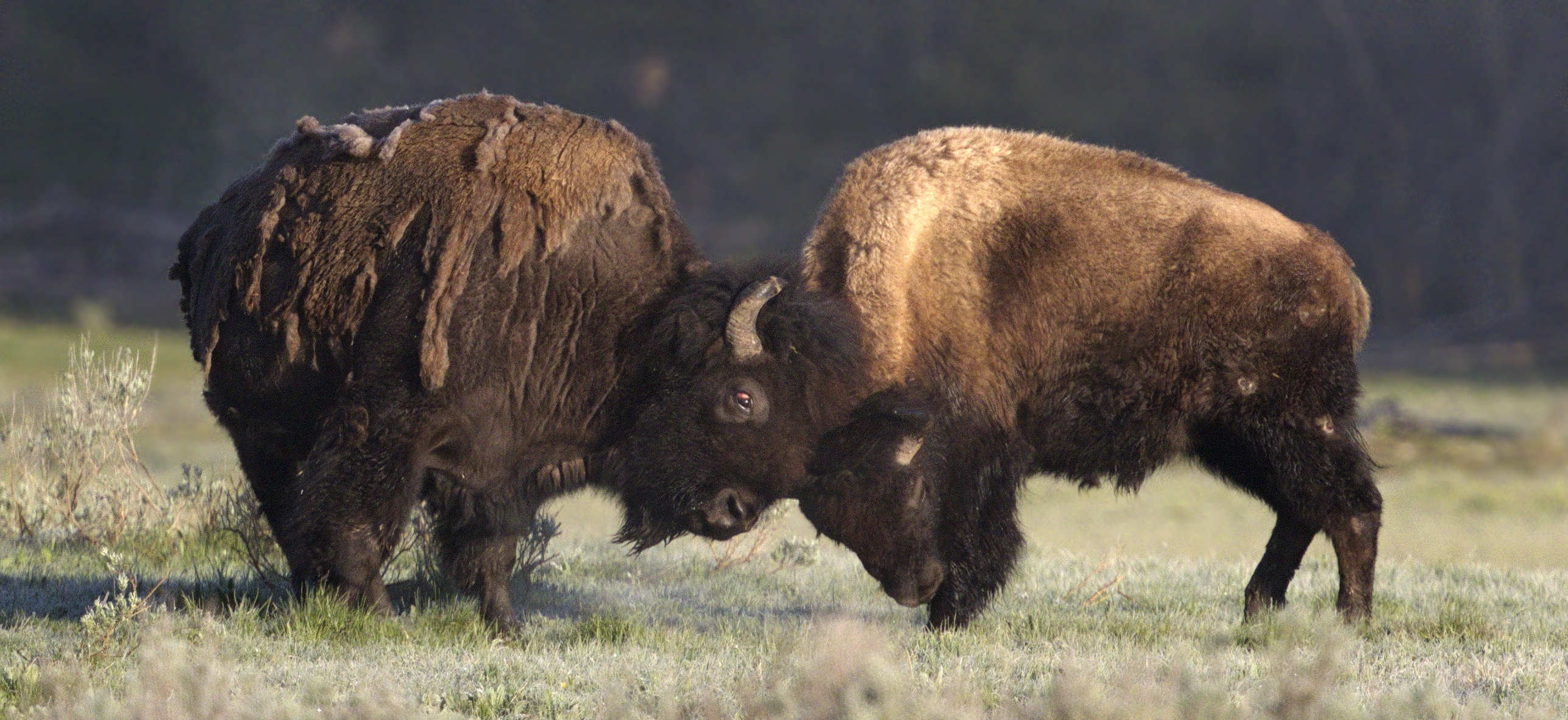 Dueling American Bison