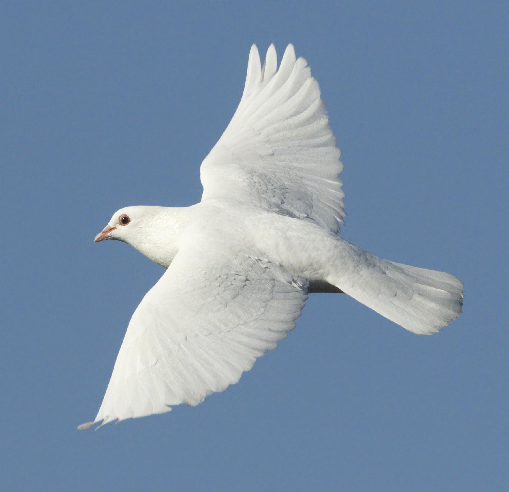 Doves   San Diego Bird Spot